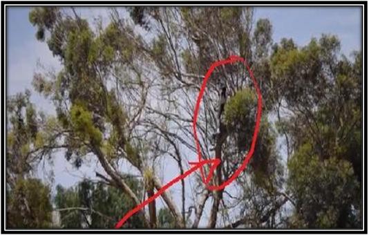 أكاذير: محاولة انتحار من فوق شجرة