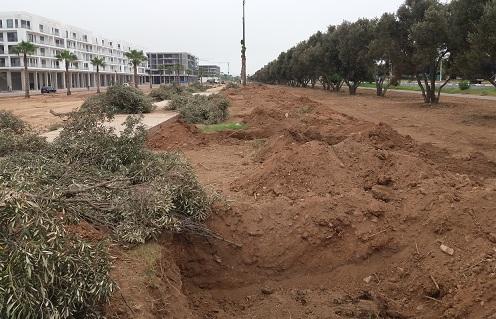 أكادير: شركة عقارية ترتكب مجزرة في حق 52 شجرة زيتون